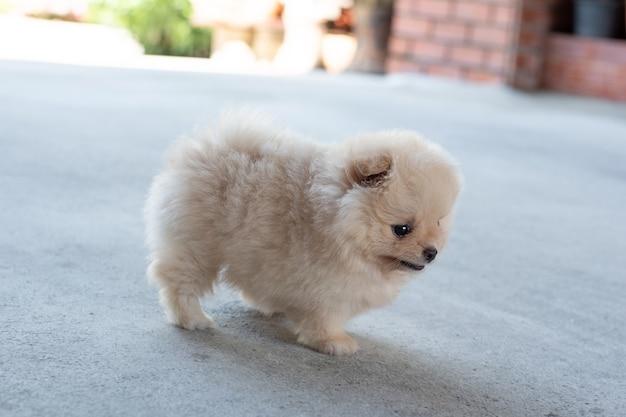 부드러운 초점으로 콘크리트 바닥에서 오른쪽을 바라보는 작고 푹신한 밝은 갈색 포메라니안 강아지