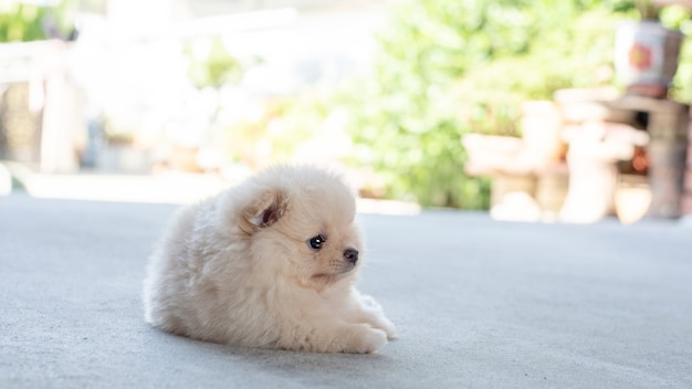 부드러운 초점 배경에서 콘크리트 바닥에 누워 있는 작고 푹신한 밝은 갈색 포메라니안 강아지