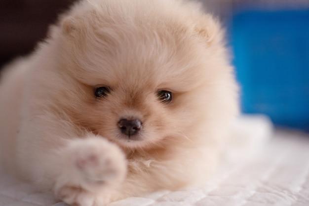 앞발이 있는 흰색 패드에 누워 있는 작고 푹신한 연한 갈색 포메라니안 강아지가 카메라를 만지려고 합니다.