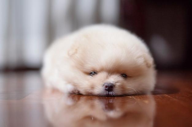 카메라를 찾고 나무 바닥에 누워 작은 푹신한 밝은 갈색 포메라니안 강아지