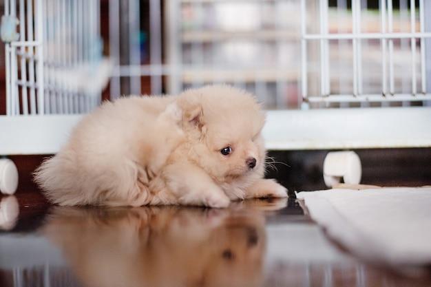 부드러운 초점에서 그녀의 귀를 긁는 나무 바닥에 누워 작은 푹신한 밝은 갈색 포메라니안 강아지