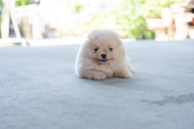 작은 푹신한 밝은 갈색 포메라니안 강아지는 콘크리트 바닥에 카메라를 향해 미소를 지으며 누워 있습니다
