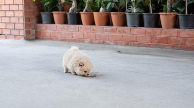 부드러운 초점 배경에서 콘크리트 바닥에서 냄새를 맡는 작고 푹신한 밝은 갈색 포메라니안 강아지