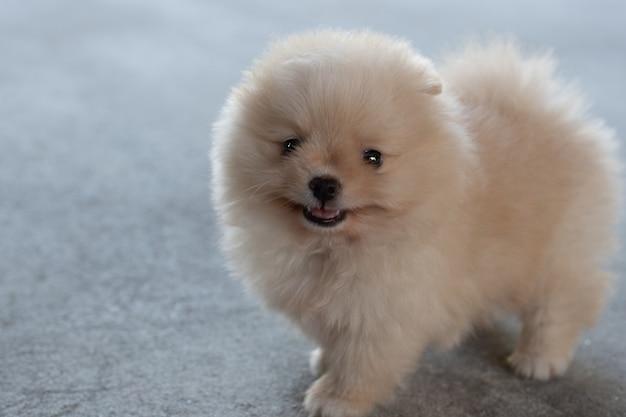 부드러운 초점 배경에서 콘크리트 바닥에 웃고 있는 작고 푹신한 밝은 갈색 포메라니안 강아지