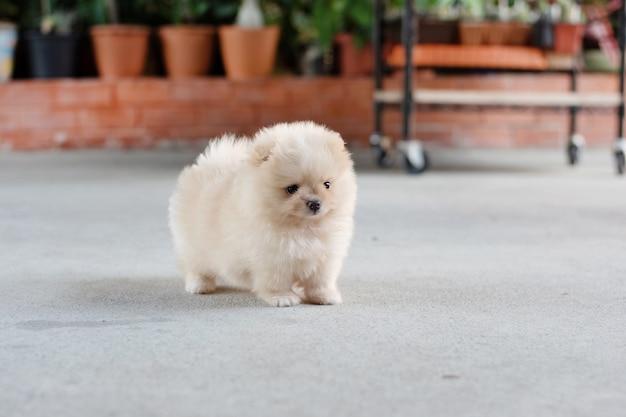 부드러운 초점 배경에서 콘크리트 바닥에 서 있는 작은 푹신한 밝은 갈색 포메라니안 강아지