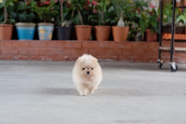 부드러운 초점 배경에서 콘크리트 바닥을 걷고 있는 작고 푹신한 밝은 갈색 포메라니안 강아지