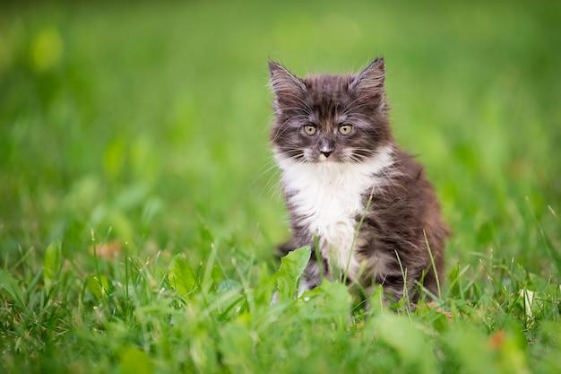 白い胸を持つ小さなふわふわの遊び心のある灰色のメインクーンの子猫は、緑の芝生の上を歩いています。