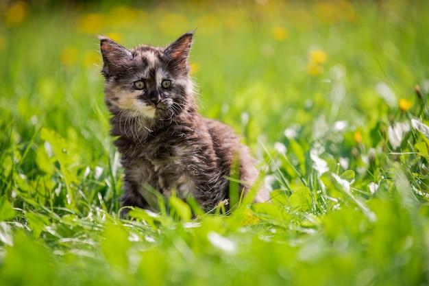 小さなふわふわの遊び心のある灰色の斑点のあるメインクーンの子猫は、緑の芝生の上を歩きます。