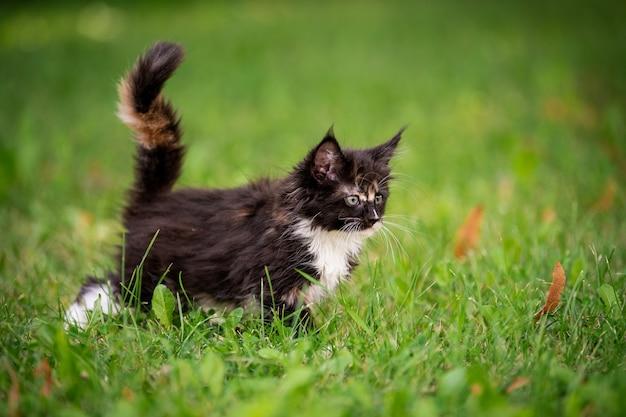 작고 푹신하고 장난기 많은 회색 얼룩 무늬가 있는 메인 쿤 고양이가 푸른 잔디 위를 걷습니다.