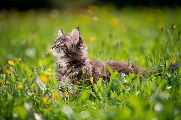 小さなふわふわの遊び心のある灰色のぶちメインクーンの子猫は、緑の芝生の上を歩きます。