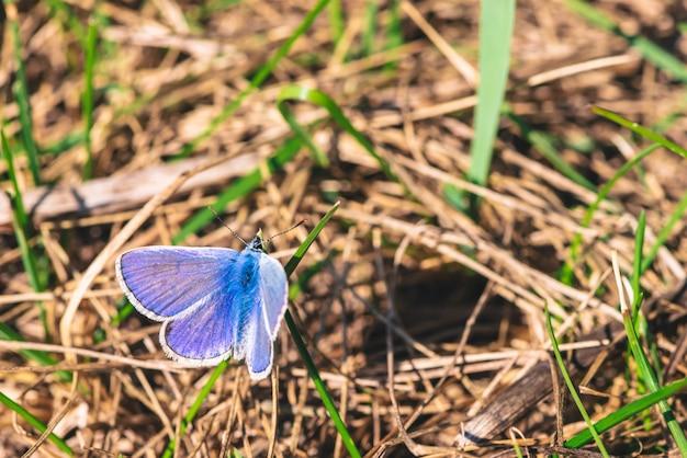 Малая пушистая фиолетовая бабочка на ярком зеленом конце травинки вверх. красивое голубое насекомое на земле в макросе с космосом экземпляра.