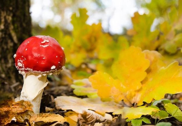 Small fly agaric by a tree in autumn foliage