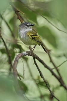 숲의 작은 가지에 포즈를 취하는 작은 새