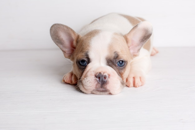 Small french bulldog puppy  is lying