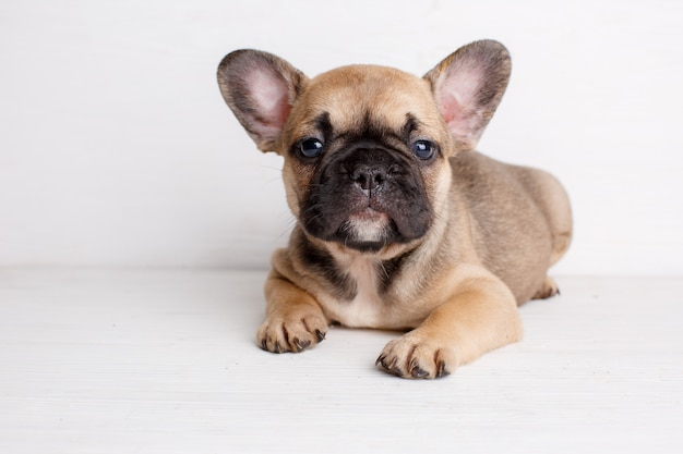 Small french bulldog puppy lies