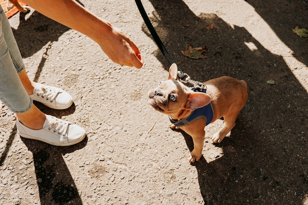 Small french bulldog with blue eyes. the hand of the hostess gives a treat