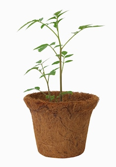 Small fresh tomato plants in eco pot made from coconut fiber biodegradable pots isolated on white background