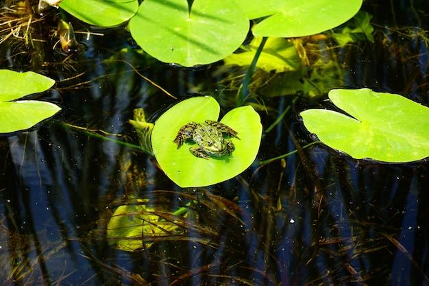 Piccola rana in cima a una foglia verde in uno stagno