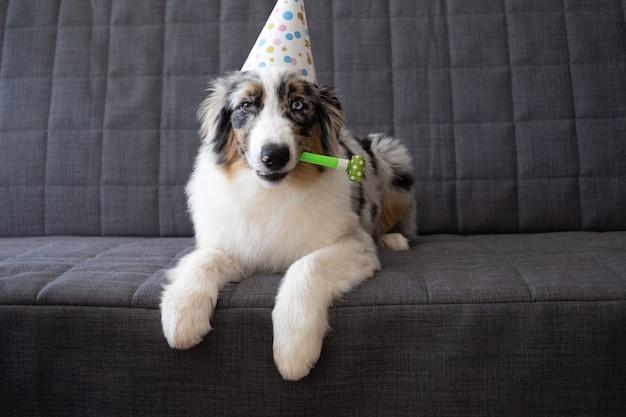 Маленький забавный милый щенок австралийской овчарки блю мерль в шляпе для вечеринок. грызть партийный рог. глаза разного цвета.