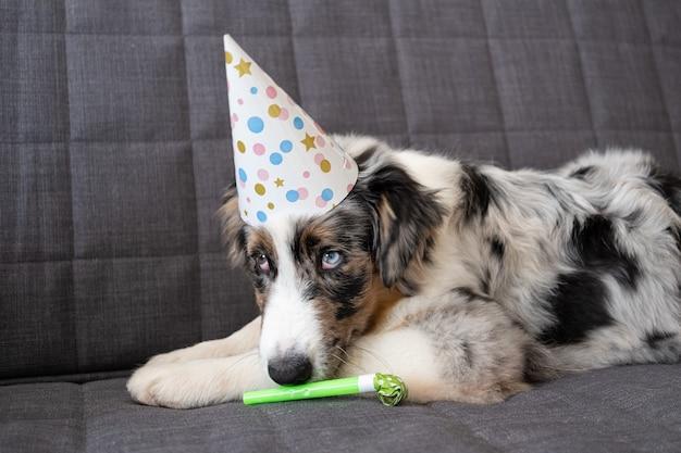 Маленький забавный милый щенок австралийской овчарки блю мерль в шляпе для вечеринок. понюхайте праздничный рог. глаза разного цвета.