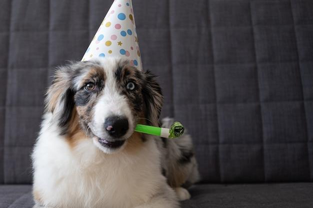 パーティーハットをかぶった小さな面白いかわいいオーストラリアンシェパードブルーメルル子犬犬。