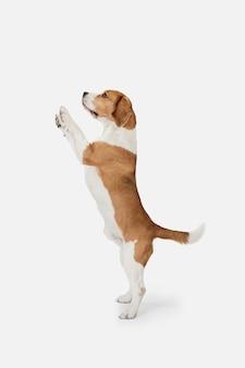 Маленькая смешная собака бигль позирует изолированной над белой стеной