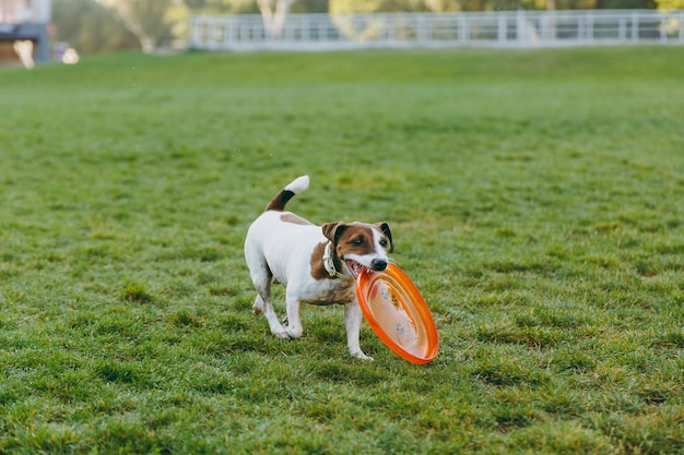 Small funny dog catching orange flying disk on the green grass. little jack russel terrier pet playing outdoors in park. dog and toy on open air.