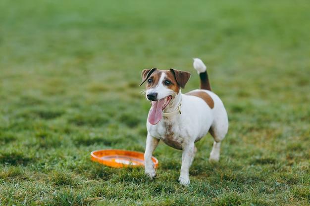 녹색 잔디에 오렌지 플라잉 디스크를 잡는 작은 재미있는 개. 작은 잭 러셀 테리어 애완동물이 공원에서 야외에서 놀고 있습니다. 야외에 개와 장난감입니다.