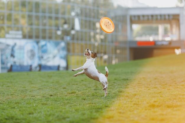 緑の草の上でオレンジ色のフライングディスクを捕まえる小さな面白い犬。公園で屋外で遊ぶリトルジャックラッセルテリアのペット。野外で犬とおもちゃ。