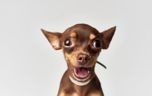 Small funny purebred chihuahua dog close-up pet.