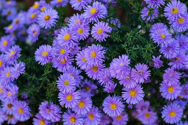 小さな庭の紫のアストラの花。アルペンアスターのグループアスターアルピナス。クローズアップ写真。フルフレーム。バックグラウンド