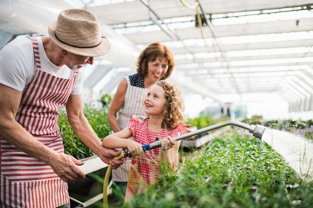 Small girl with senior grandparents gardening in the greenhouse, watering plants.