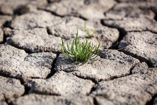 A small grass bush push through dry cracked ground,power of life small grass bush. the small green grass bush pushes through the dry cracked ground.