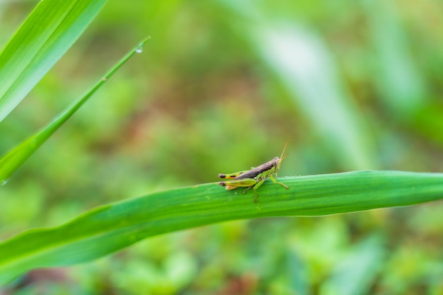 Small grasshopper on green leave