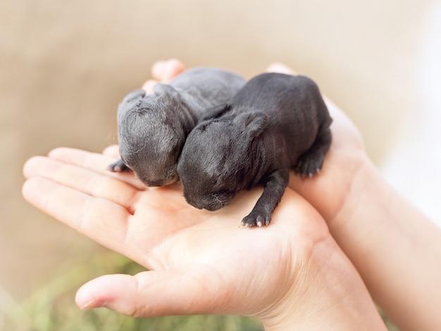 小さな灰色と黒の新生児盲目のウサギ