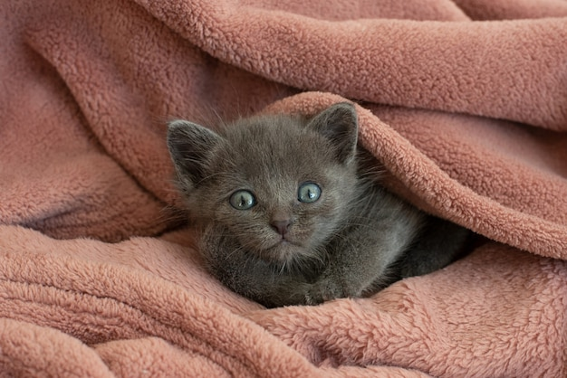 ピンクの毛布の小さな灰色の猫があくびをします。