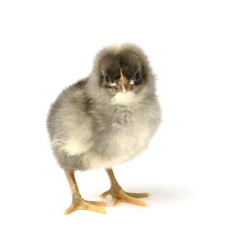 작은 회색 닭 흰색 절연