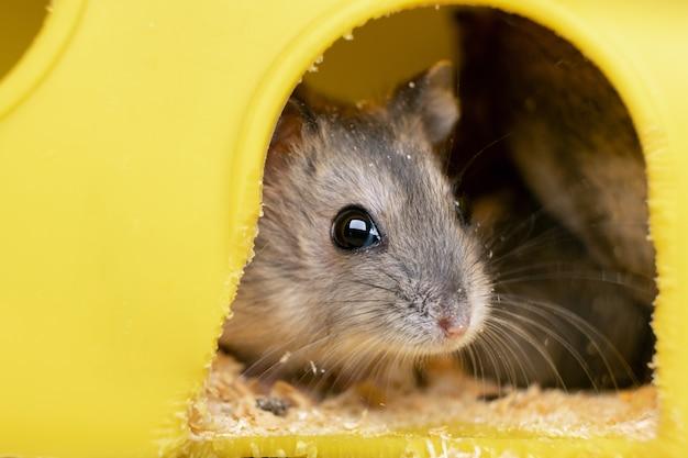 Маленькая серая джунгарская крыса хомяка в желтой домашней клетке