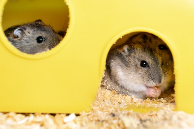 Small gray jungar hamster rats in yellow home cage.