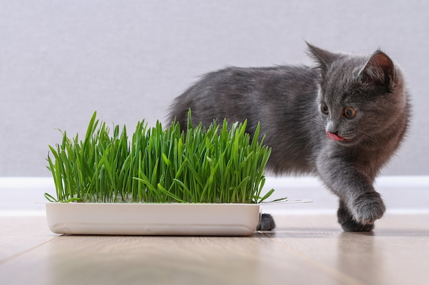 A small gray kitten eats green grass to breed fur the cat eats oats source of vitamins