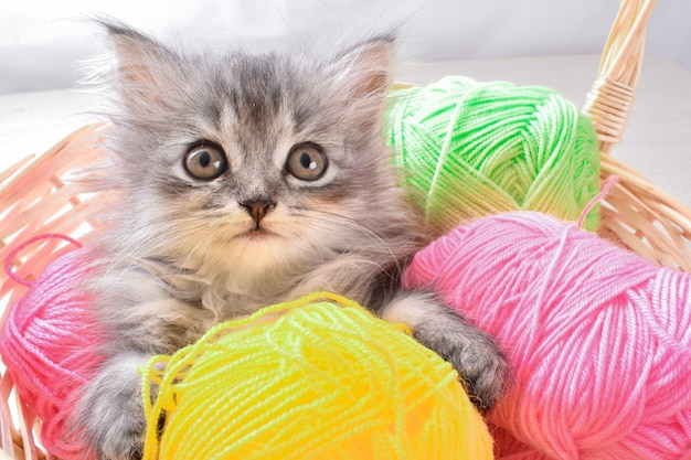 A small gray kitten is lying in a basket with colorful balloons on a gray background.