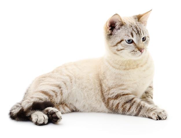 白で隔離の小さな灰色の子猫