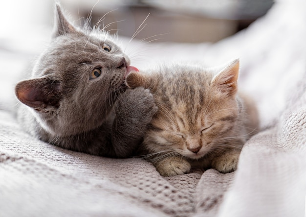 Small gray kitten licks ear of tabby kitten. couple of kittens in love hugging, kissing. sleepy kittens are gentle, take care of cat family. pets in cozy home on couch.
