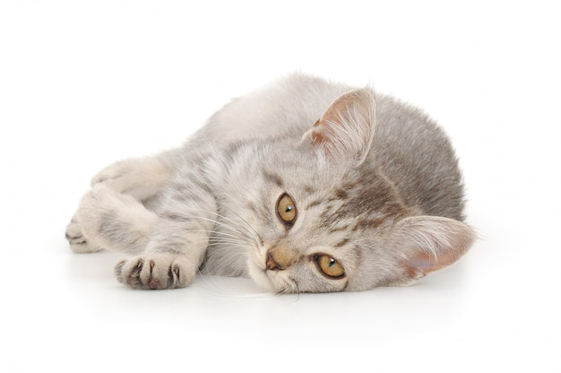 Маленький серый котенок на белом изолированные