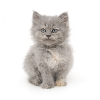 Small gray kitten on a white