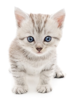 小さな灰色の子猫