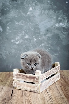 A small gray scottish fold kitten sits in a wooden box. the kitten was frightened. vertical view