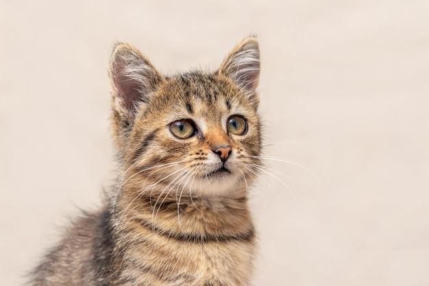 Маленький серый полосатый котенок на светлом фоне, портрет котенка