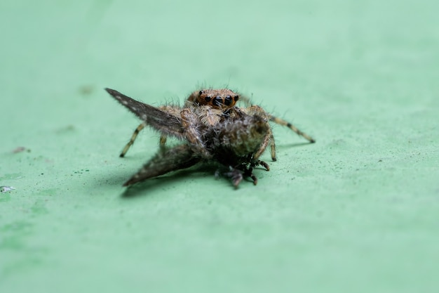 Маленький серый паук-скакун вида menemerus bivittatus, охотящийся на взрослую молью из вида clogmia albipunctata