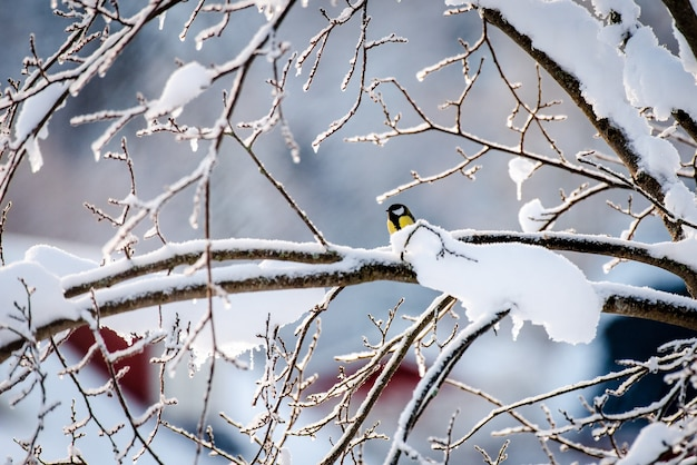 Piccolo uccello della cinciarella sul ramo di un albero d'inverno